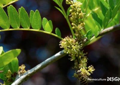 plante-permaculture-fevier-amerique-Gleditsia-triacanthos-design_05
