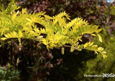plante-permaculture-fevier-amerique-Gleditsia-triacanthos-design_06