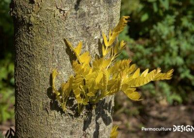 plante-permaculture-fevier-amerique-Gleditsia-triacanthos-design_07