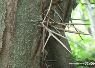 plante-permaculture-fevier-amerique-Gleditsia-triacanthos-design_09