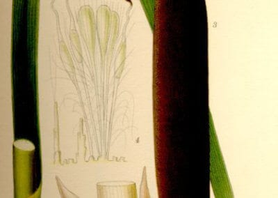 plante-permaculture-massette-quenouille-roseau-a-massette-typha-latifolia-design_02