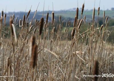 plante-permaculture-massette-quenouille-roseau-a-massette-typha-latifolia-design_04