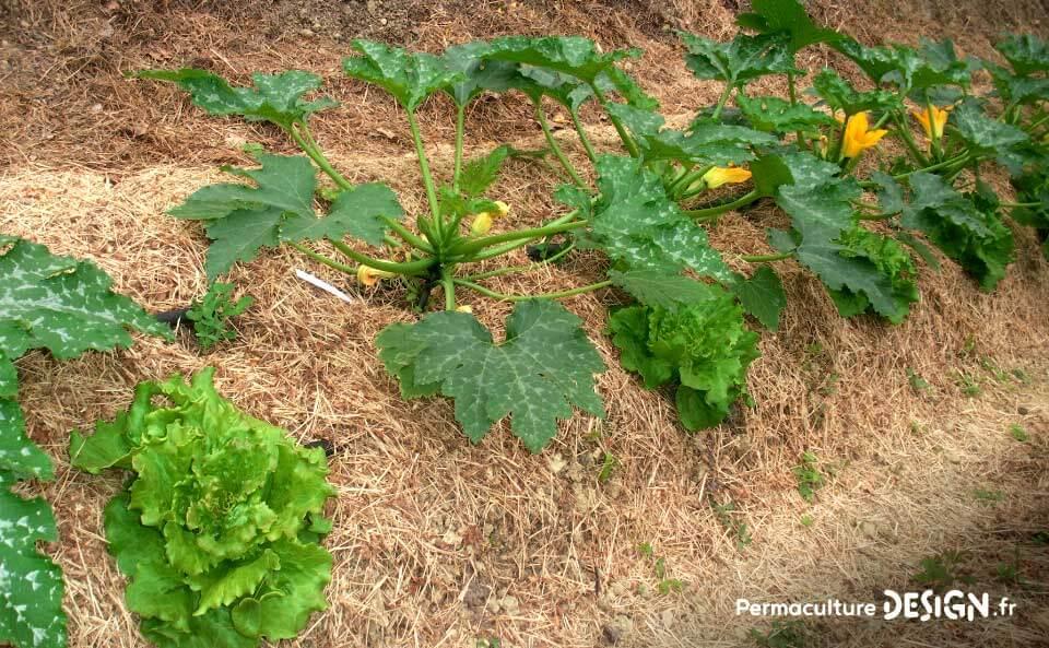 Les associations de légumes au potager en permaculture permettent de maximiser vos récoltes tout en imitant la nature.