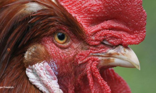 La vraie nature de la poule, origines et histoire de son élevage.