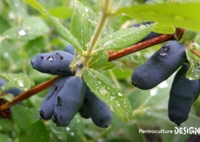 lonicera-kamtschatica-plante-permaculture−formation−permaculture−design−07