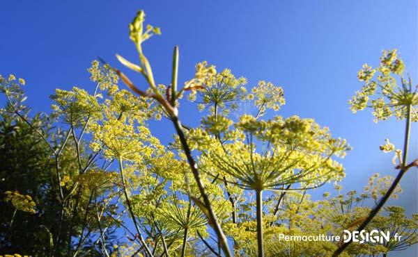 En permaculture, on recommande la cueillette de plantes sauvages comestibles pour une alimentation saine et nutritive offerte par la nature !