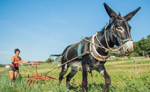 Conseils avisés d'agriculteurs paysans sur l'élevage d'animaux en permaculture dans une microferme agroécologique.