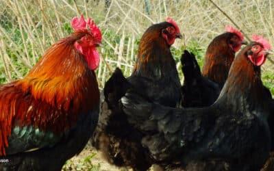 Comment bien choisir vos poules pour votre élevage?