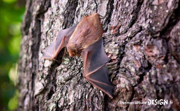 La chauve-souris est une véritable alliée dans un jardin en permaculture. De la pipistrelle à la noctule, découvrez les particularités, habitudes de vie, nourriture, reproduction de ces chiroptères protégés en France depuis 1976…