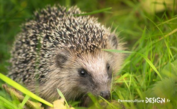 Le hérisson, petit mammifère exceptionnel, est un formidable auxiliaire au jardin en permaculture !