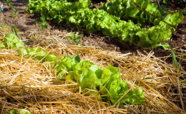 Quand on parle de paillage au jardin ou encore de paillis ou de mulch, difficile d'y voir clair. Pour vous aider voici un guide complet sur les paillages au jardin pour bien les choisir !