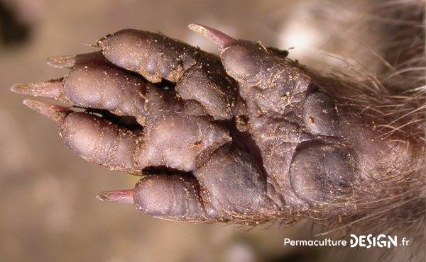 Apprenez à reconnaitre une crotte de hérisson, des empreintes de hérisson et autres indices pour confirmer sa présence dans votre jardin en permaculture.