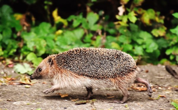 Du bébé hérisson à l'animal adulte, découvrez les habitudes et mode de reproduction de ces petits mammifères exceptionnels