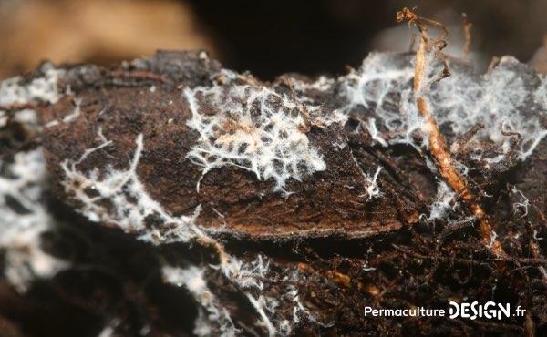 Filaments de mycélium qui forment la partie végétative des champignons et constituent des réseaux parfois très étendus à quelques cm sous la surface du sol dans lesquels circulent eau et nutriments divers.