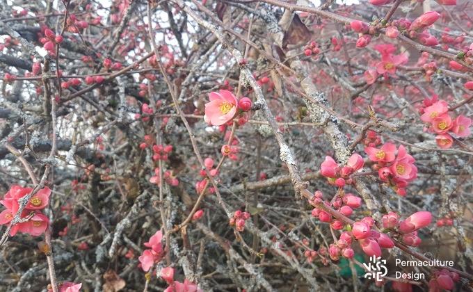 Jolie floraison mellifère d'un cognassier du Japon en fin d'hiver. Celui-ci est placé en bordure du potager en permaculture de Magalie où il sert aussi de brise-vue, brise-vent, nichoirs pour les oiseaux…