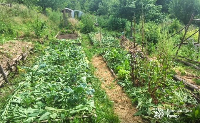 Exemple de plates-bandes paillées avec de la consoude fraîchement coupée cultivée sur des buttes voisines au potager en permaculture de la Goursaline.