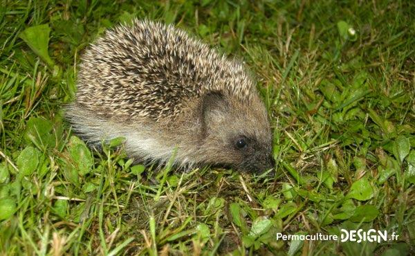 Découvrez ce que mange un hérisson, sa nourriture favorite mais aussi ses besoins en terme d'abri, son hibernation…