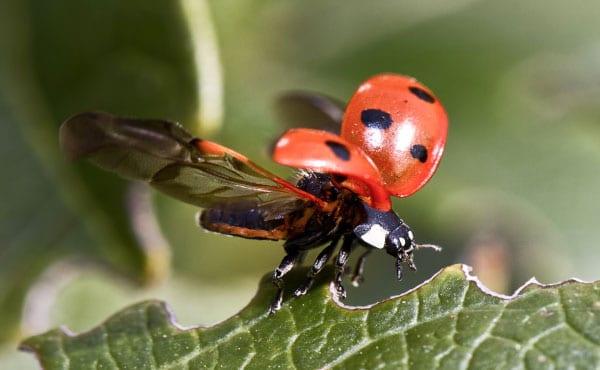 Coccinelle déployant ses ailes membraneuses pour prendre son envol