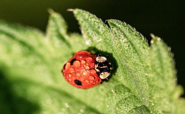 Coccinelle européenne à 2 points - Adalia bipunctata - sur une feuille d'ortie