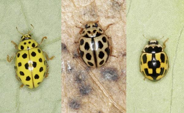 Exemples de coccinelles aux élytres jaunes avec, de gauche à droite : Psyllobora vigintiduopunctata, Tytthaspis sedecimpunctata et Propylea quatuordecimpunctata aussi appelée coccinelle à damier - photos : Christoph Benisch - kerbtier.de