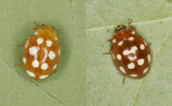 Exemples de coccinelles aux élytres oranges avec, à gauche, Vibidia duodecimguttata et à droite Calvia quatuordecimguttata - photos : Christoph Benisch - kerbtier.de