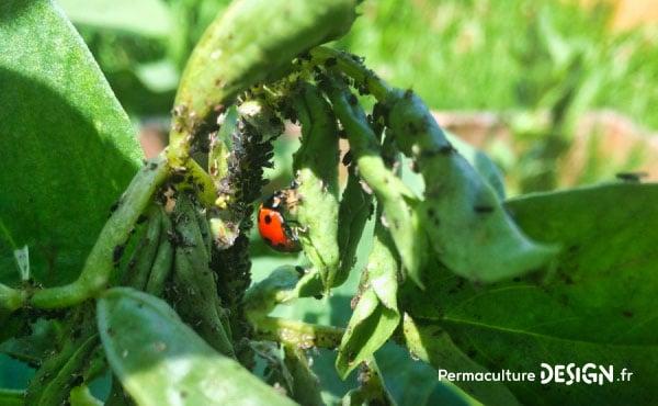 Coccinelle en plein festin au sommet d'une tige de fève infestée de pucerons !