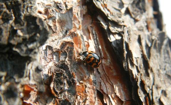 L'hiver, certaines coccinelles hivernent sous l'écorce des arbres