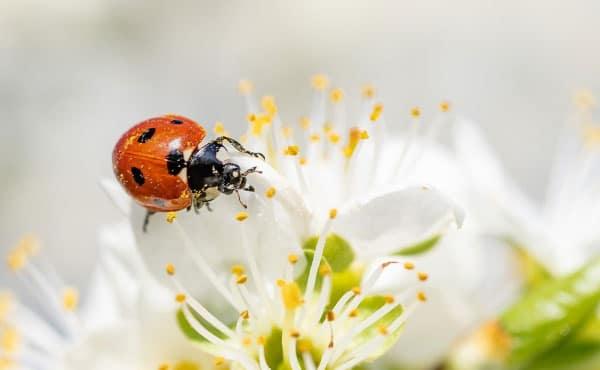Précieuses auxiliaires du jardinier, les coccinelles contribuent aussi à la pollinisation du potager et du verger !