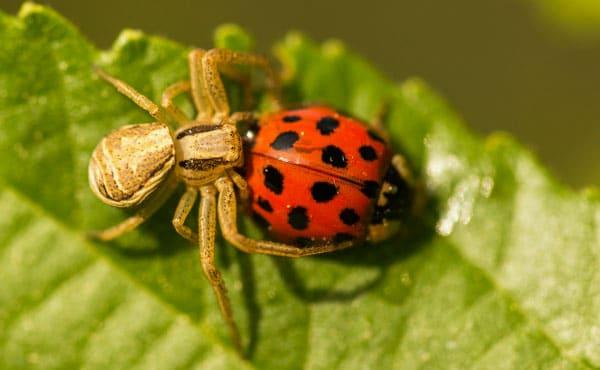 Araignée attaquant une coccinelle adulte.