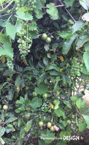 Association dans une même haie fruitière de vigne avec un pommier pour démultiplier les récoltes sur un petit espace.