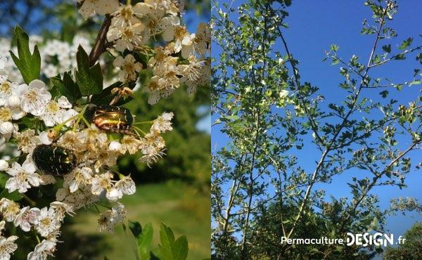 L'aubépine, un arbre ressource formidable dans une haie fruitière notamment pour la biodiversité qu'il soit en fleur ou en fruits !
