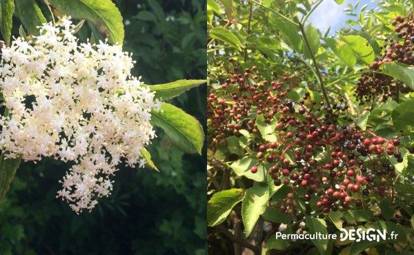 Le sureau, un autre arbre ressources extrêmement intéressant pour ses fleurs mellifères permettant de faire d'excellentes boissons pétillantes ou autres beignets et ses fruits, légèrement toxiques pour l'homme à l'état cru mais tellement bons une fois cuits en sauce, en gelées, en sirop…