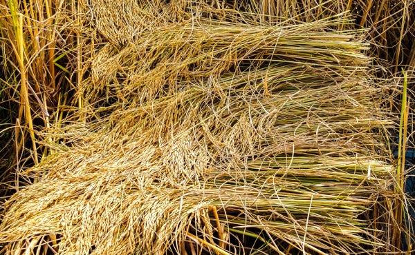 Récolte de riz dont les tiges résiduelles serviront ensuite de paille.