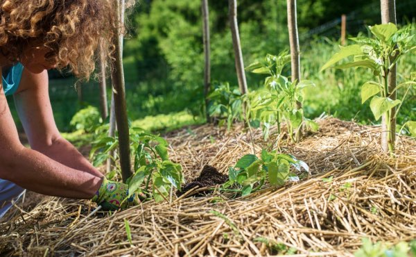 La paille est souvent utilisée en paillage, notamment au potager en permaculture.