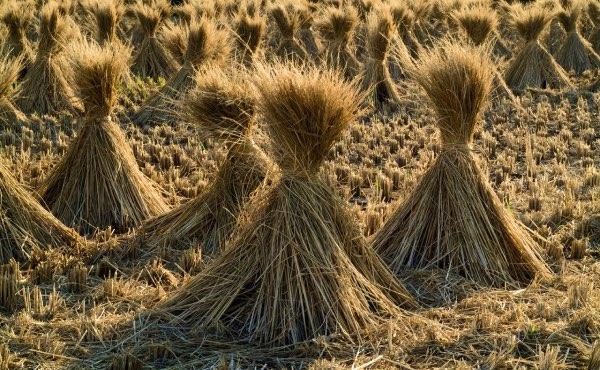 Paille de riz mise à sécher après la récolte.