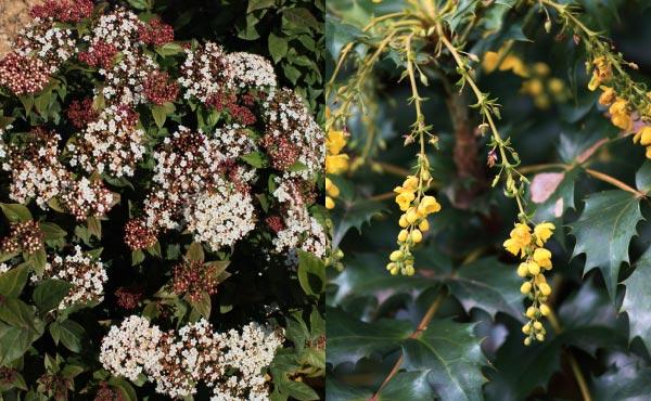 Viorne-tin (à droite) et Mahonia (à gauche), en plus de leur feuillage persistant, offrent de jolies floraisons mellifères et des fructifications qui plaisent beaucoup aux oiseaux !