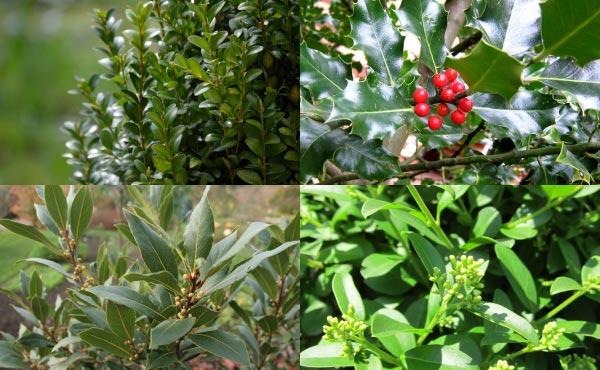 Exemples d'arbustes persistants parfaits pour structurer un jardin avec des feuillages verts intenses : troènes, buis, houx, lauriers…