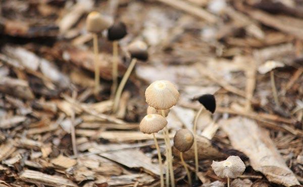Les copeaux de bois ou broyats de bois en paillage favorisent l'apparition de champignons mycorhiziens.
