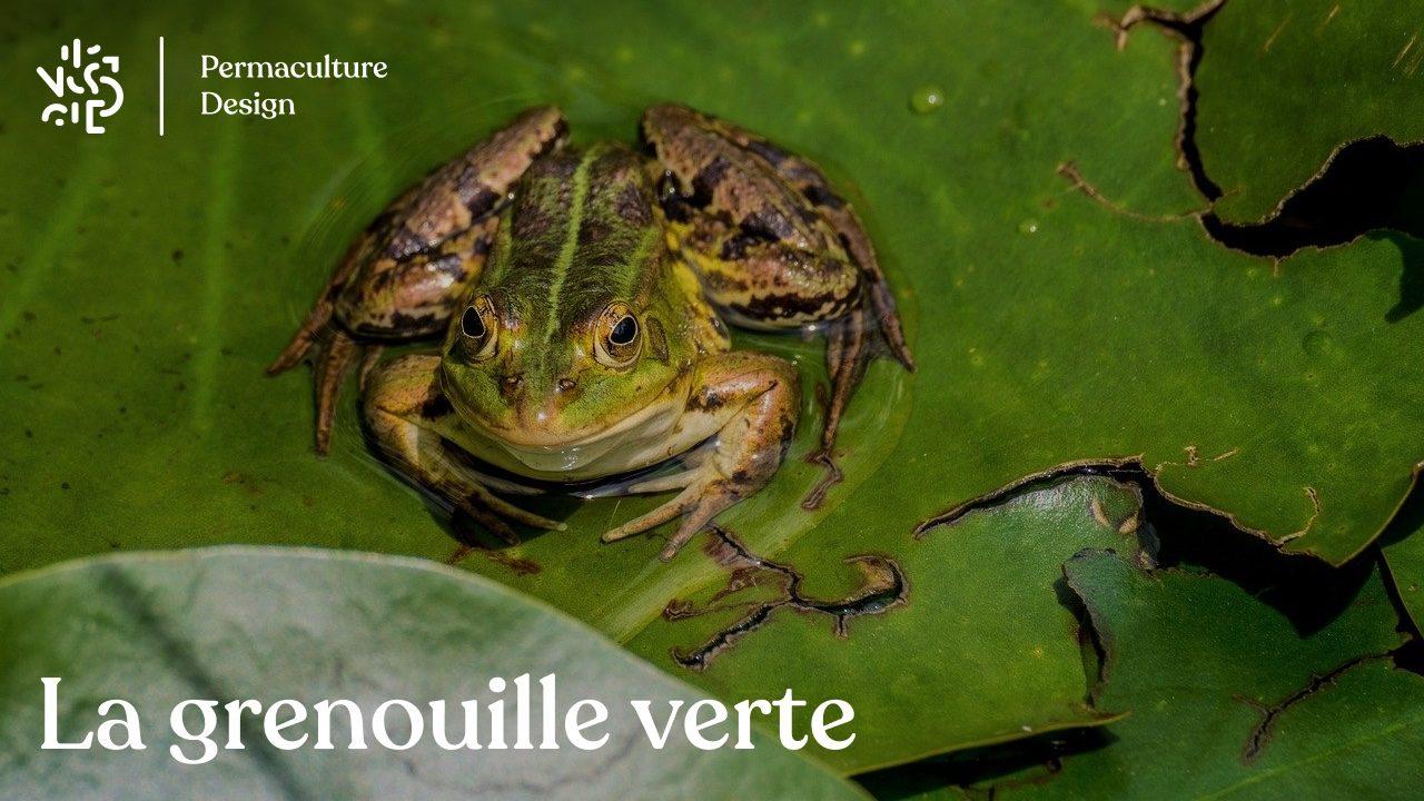 Tout savoir sur la grenouille verte: oeuf, bébé, reproduction, cri, nourriture