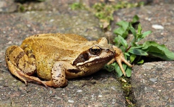 Il existe différentes espèces de grenouilles brunes : ici une grenouille rousse que l'on distingue de la grenouille agile et de celle des champs, notamment grâce aux taches brunâtres sous sa gorge et sur son ventre.