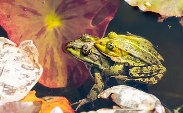 Illustration de l'amplexus où la grenouille verte mâle, plus petite que la femelle, s'accroche à celle-ci en l'attrapant sous les pattes avants.