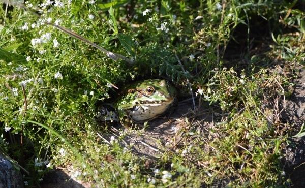 Grenouille verte au jardin, bien cachée parmi la végétation.
