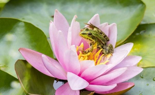 Jeune grenouille verte sur une fleur de nénuphar.