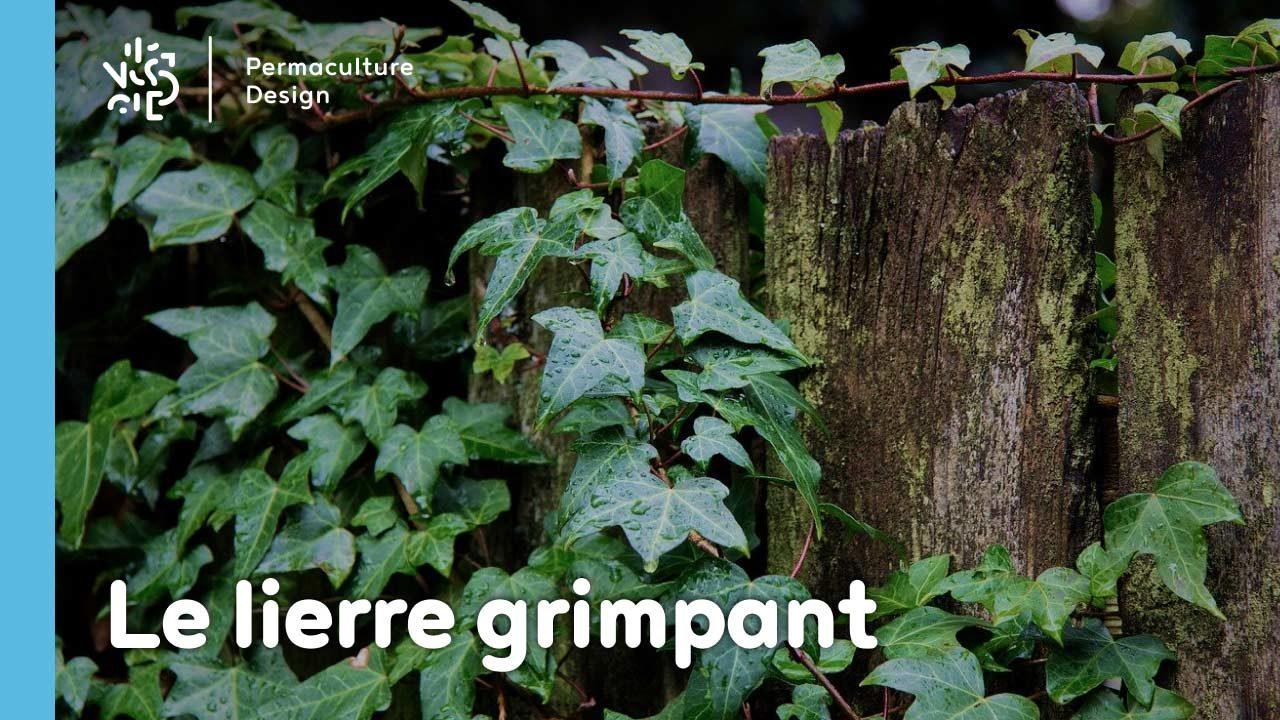 Le lierre grimpant, une plante rampante à croissance rapide