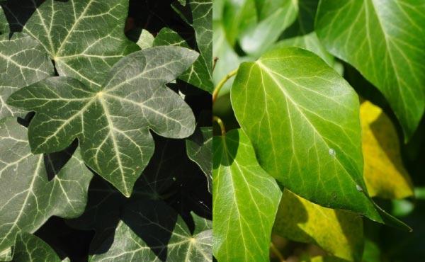 À gauche, les feuilles du lierre triangulaire à 3 ou 5 lobes. À droite, les feuilles plus ovales qu'on trouve à proximité des inflorescences.