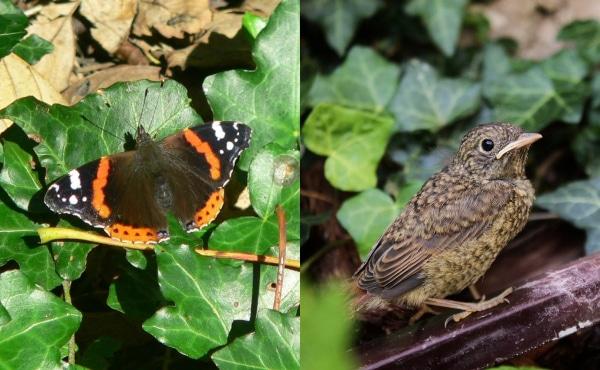 À gauche, un papillon vulcain sur des feuilles de lierre rampant. À droite, un merle noir, encore juvénile dans un massif de lierre.