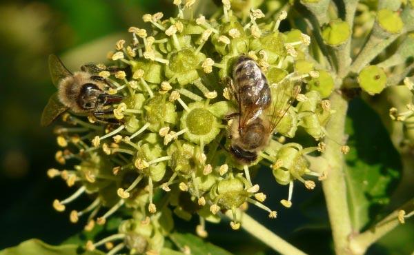 Les abeilles comme de nombreux autres insectes pollinisateurs se régalent du pollen de lierre grimpant, plus que bienvenu en période automnale.