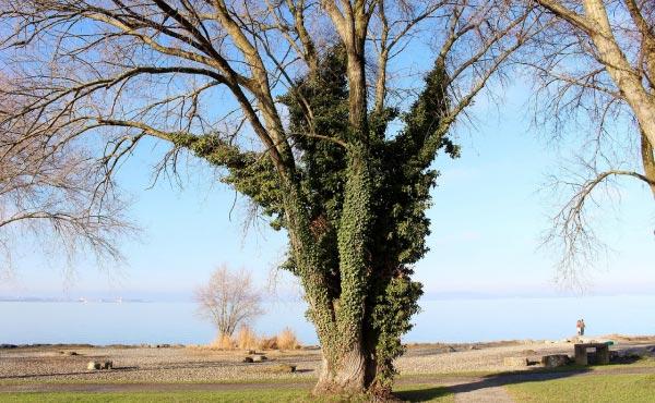 Arbre dont le lierre a colonisée le tronc sans, pour autant, atteindre sa canopée, il n'y a donc pas de problème de concurrence pour la lumière et les deux plantes tirent profit l'une de l'autre ! Un vrai partenariat gagnant/gagnant.