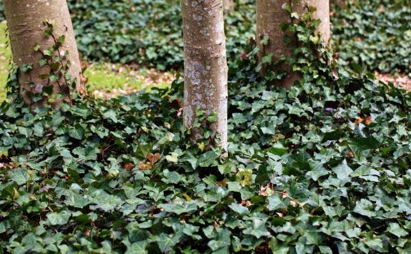 Lierre rampant au pied des arbres et formant un super couvre-sol protecteur !