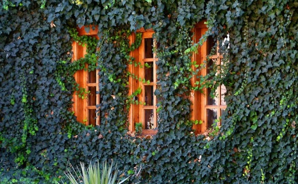Le lierre grimpant peut aussi renforcer l'isolation thermique des maison en plus de les embellir !